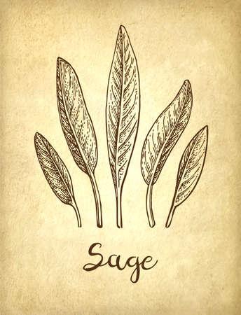 Sage ink sketch Archivio Fotografico - 101207634