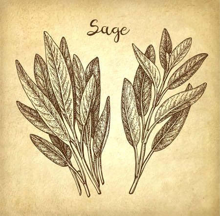 Sage ink sketch Banco de Imagens - 101207632
