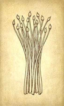 Garlic Chives. Ink sketch on old paper background. Hand drawn vector illustration. Retro style. Ilustrace