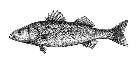 Ink sketch of sea bass. Hand drawn vector illustration of fish isolated on white background. Retro style. Ilustração