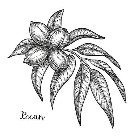 Dibujo tinta de nuez Ilustración de vector