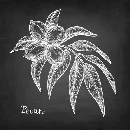 Chalk sketch of pecan Ilustração