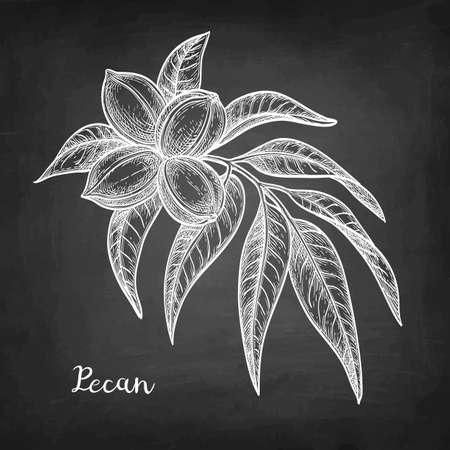 Chalk sketch of pecan Illustration