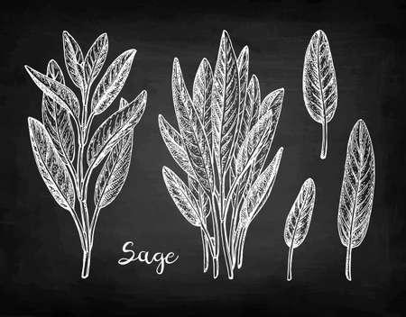 Sage chalk sketch