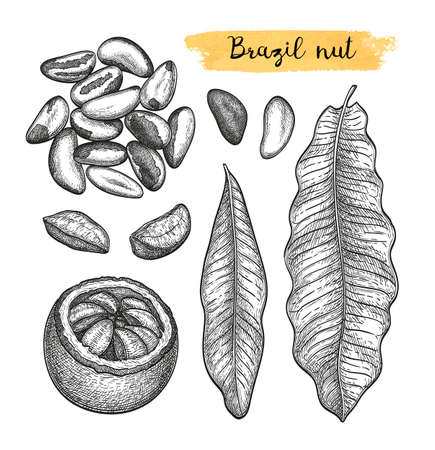Ink sketch of Brazil nut.