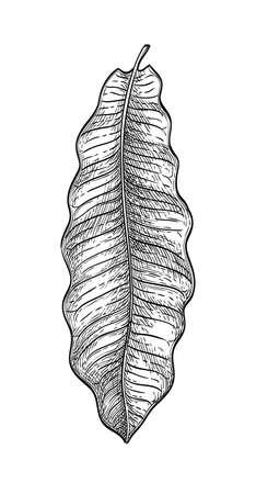 Ink sketch of brazil nut tree leaf. Illustration