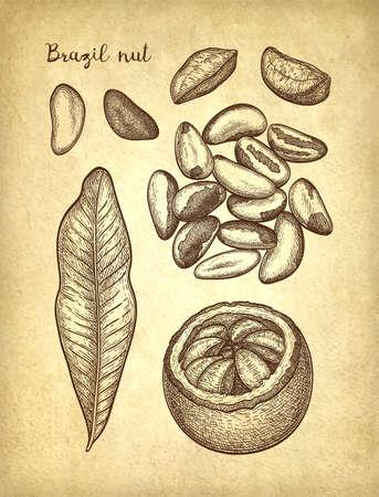 Ink sketch of Brazil nut. Illustration
