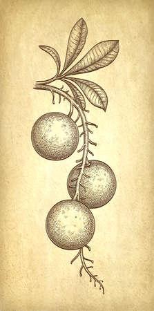 Ink sketch of Brazil nut. Illusztráció
