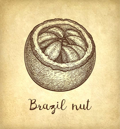 Ink sketch of Brazil nut. 일러스트
