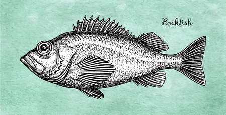 Ink sketch of rockfish. Stock fotó - 103446425