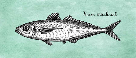 Ink sketch of horse mackerel. Vettoriali