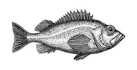 Dibujo tinta de pez roca. Ilustración de vector dibujado a mano de gallineta nórdica aislada sobre fondo blanco. Estilo retro.