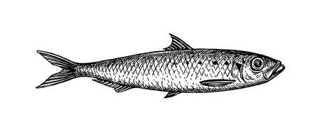 Pilchard. Ink sketch of sardine. Small herring. Hand drawn vector illustration of fish isolated on white background. Retro style.