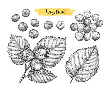 Ink sketch of hazelnut. 스톡 콘텐츠 - 105377377