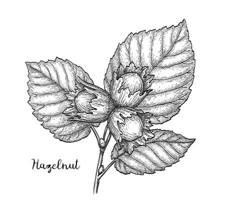 Ink sketch of hazelnut branch. Illustration