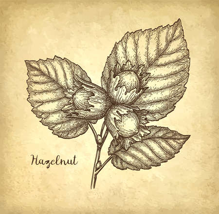 Ink sketch of hazelnut. Hand drawn vector illustration on old paper background. Retro style. Иллюстрация