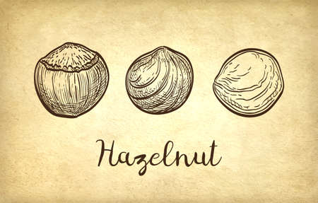 Ink sketch of hazelnut. Hand drawn vector illustration on old paper background. Retro style. Çizim