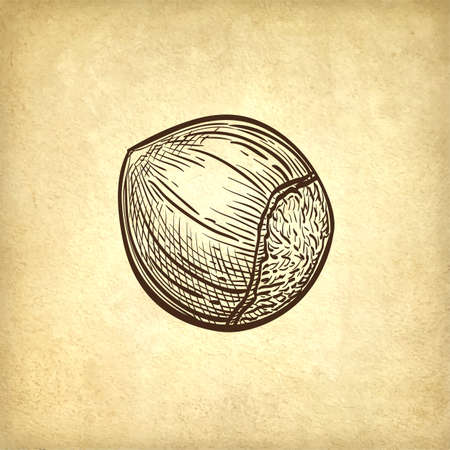 Ink sketch of hazelnut. Hand drawn vector illustration on old paper background. Retro style. Illustration
