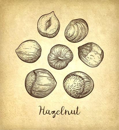 Ink sketch of hazelnut. Hand drawn vector illustration on old paper background. Retro style. Ilustração
