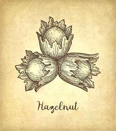 Croquis à l'encre de noisette. Illustration vectorielle dessinés à la main sur fond de papier ancien. Style rétro.