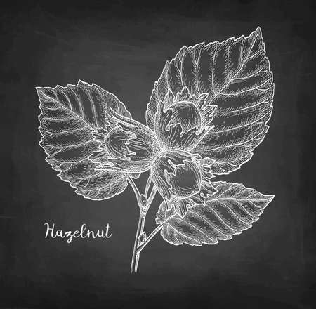 Chalk sketch of hazelnut. Banque d'images - 106644974