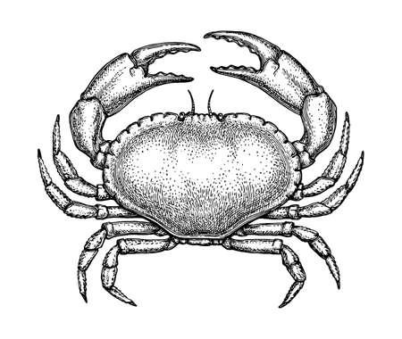 Szkic tuszem brązowy krab na białym tle. Ręcznie rysowane ilustracji wektorowych raka pagurus. Styl retro. Ilustracje wektorowe