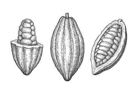 Cocoa fruits. Ink sketch isolated on white background. Hand drawn vector illustration. Retro style. Ilustração