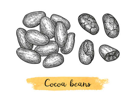 Cocoa beans. Ink sketch isolated on white background. Hand drawn vector illustration. Retro style. Archivio Fotografico - 110455604