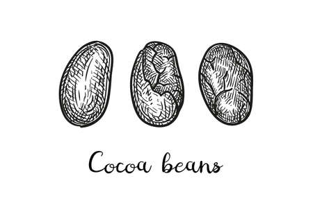Cocoa beans. Ink sketch isolated on white background. Hand drawn vector illustration. Retro style.