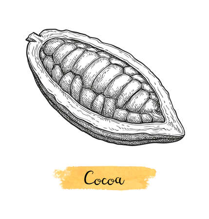 Baccello di cacao. Schizzo dell'inchiostro isolato su priorità bassa bianca. Illustrazione vettoriale disegnato a mano. Stile retrò.