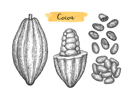 Cocoa pods and beans. Ink sketch isolated on white background. Hand drawn vector illustration. Retro style.