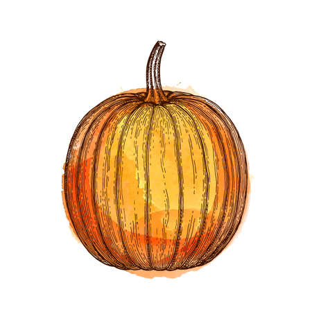Ink sketch of pumpkin isolated on white background. Hand drawn watercolor vector illustration. Retro style.  イラスト・ベクター素材