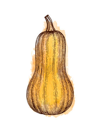 Ink sketch of butternut squash isolated on white background. Hand drawn watercolor vector illustration. Retro style. 일러스트