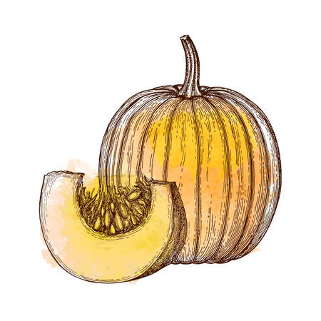 Ink sketch of pumpkin isolated on white background. Hand drawn watercolor vector illustration. Retro style.