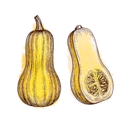 Ink sketch of butternut squash isolated on white background. Hand drawn watercolor vector illustration. Retro style.