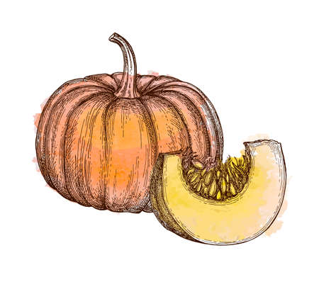 Ink sketch of pumpkin isolated on white background. Hand drawn watercolor vector illustration. Retro style. Illusztráció