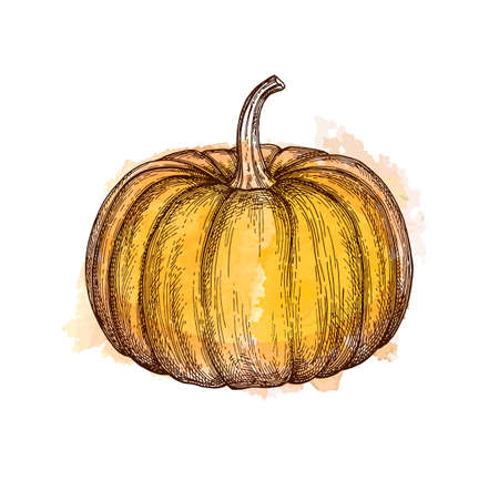 Ink sketch of pumpkin isolated on white background. Hand drawn watercolor vector illustration. Retro style. Çizim