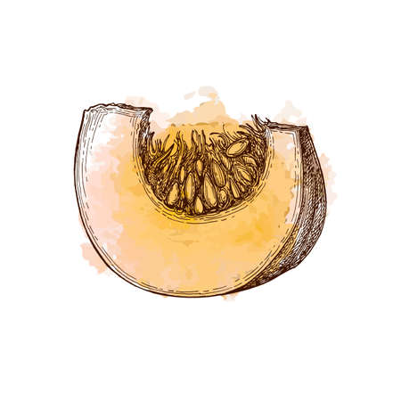 Ink sketch of pumpkin piece isolated on white background. Hand drawn watercolor vector illustration. Retro style. 矢量图像