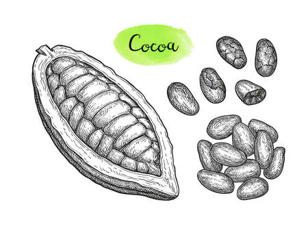 Cocoa pod and beans. Ink sketch isolated on white background. Hand drawn vector illustration. Retro style. Illustration