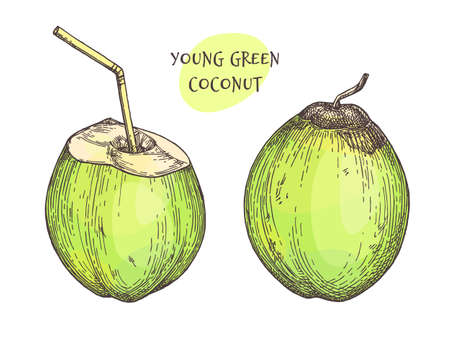 Ink sketch of young green coconuts. Isolated on white background. Hand drawn vector illustration. Retro style.