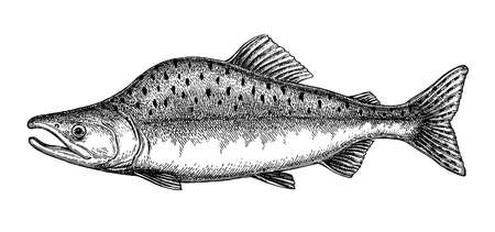Ink sketch of pink humpback salmon. Hand drawn vector illustration of fish isolated on white background. Retro style.