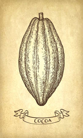 Cocoa pod. Ink sketch on old paper background. Hand drawn vector illustration. Retro style.