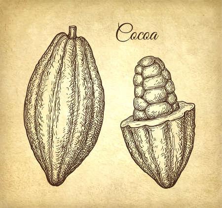 Frutti di cacao. Schizzo di inchiostro su sfondo di carta vecchia. Illustrazione vettoriale disegnato a mano. Stile retrò.