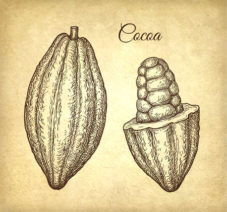 Cocoa fruits. Ink sketch on old paper background. Hand drawn vector illustration. Retro style.