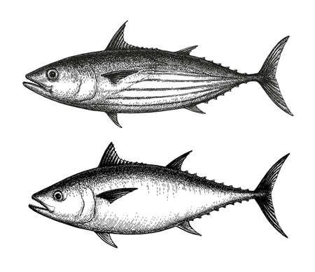 Croquis à l'encre de listao et de thon rouge de l'Atlantique. Illustration vectorielle dessinés à la main de poisson isolé sur fond blanc. Style rétro.