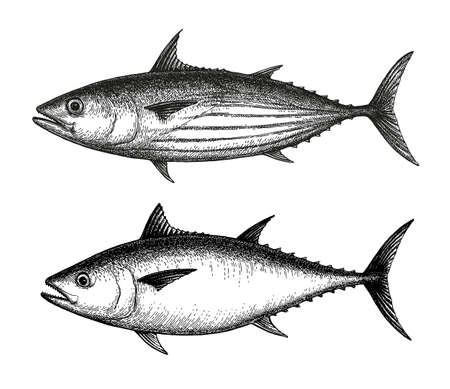 Ink sketch of Skipjack and Atlantic bluefin tuna. Hand drawn vector illustration of fish isolated on white background. Retro style. Ilustração