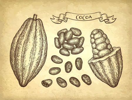 Cocoa pods and beans. Ink sketch on old paper background. Hand drawn vector illustration. Retro style. Archivio Fotografico - 110042086