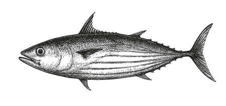 Dibujo tinta de atún barrilete. Ilustración de vector dibujado a mano de pescado aislado sobre fondo blanco. Estilo retro. Ilustración de vector