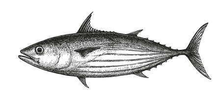Ink sketch of skipjack tuna. Hand drawn vector illustration of fish isolated on white background. Retro style.