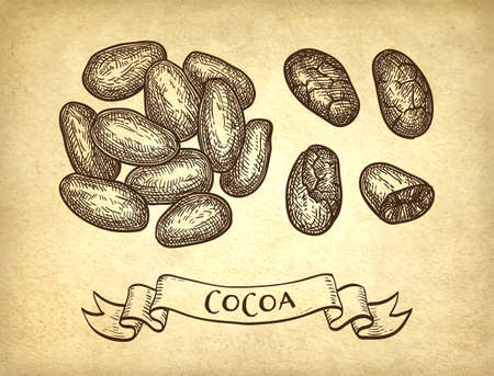 Cocoa beans. Ink sketch on old paper background. Hand drawn vector illustration. Retro style. Banco de Imagens - 110042087